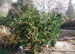 Mandarinenbaum in Makarska